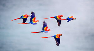 RF - Flock of Scarlet Macaws (Ara macao) in flight. Osa Peninsula (near Corcovado National Park), Costa Rica, Central America. (This image may be licensed either as rights managed or royalty free.) - Nick Garbutt