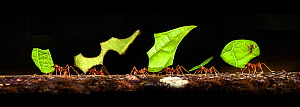 RF - Leaf-cutter Ants (genus Atta or Acromyrmex) carrying leaf fragments back to the colony. Lowland rainforest, La Selva, Caribbean slope, Costa Rica. (This image may be licensed either as rights man...  -  Nick Garbutt