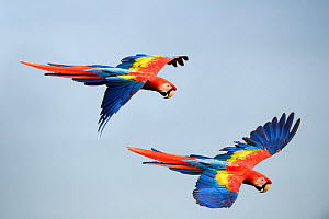 RF - Scarlet Macaws (Ara macao) in flight. Osa Peninsula (near Corcovado National Park), Costa Rica, Central America. (This image may be licensed either as rights managed or royalty free.) - Nick Garbutt