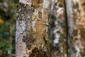 RF - Mossy Leaf-tailed Gecko (Uroplatus sikorae) resting and camouflaged on tree trunk in rainforest understorey. Mantadia National Park, east Madagascar. (This image may be licensed either as rights... - Nick Garbutt