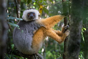 RF - Diademed Sifaka (Propithecus diadema) in montane rainforest mid-storey. Andasibe-Mantadia National Park, eastern Madagascar. Endangered species (This image may be licensed either as rights manage...  -  Nick Garbutt