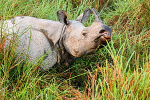 RF - Male Great One-horned Rhinoceros (Rhinoceros unicornis). Kaziranga National Park, Assam, India. (This image may be licensed either as rights managed or royalty free.)  -  Nick Garbutt