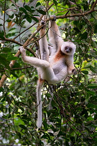 RF - Silky Sifaka (Propithecus candidus) feeding in montane rainforest mid-storey. Marojejy National Park, north east Madagascar. Critically Endangered species (This image may be licensed either as ri...  -  Nick Garbutt