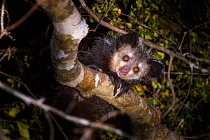 RF - Adult Aye-aye (Daubentonia madagascariensis) active in forest canopy at night. Dry deciduous forest near Andranotsimaty. Daraina, northern Madagascar. Critically Endangered species (This image ma...  -  Nick Garbutt