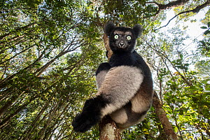 RF - Male Indri (Indri indri) in forest understorey. Mitsinjo Reserve, Andasibe-Mantadia National Park, eastern Madagascar. Endangered species (This image may be licensed either as rights managed or r... - Nick Garbutt