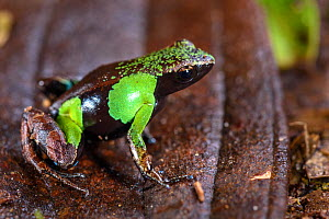 RF - Marojejy Green and Brown Mantella Frog (Mantella nigricans) in leaf litter in lowland rainforest. Marojejy National Park, north east Madagascar. (This image may be licensed either as rights manag...  -  Nick Garbutt