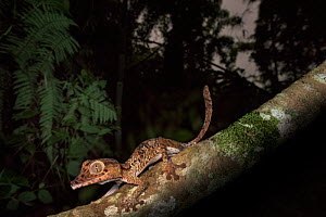 RF - Giant Leaf-tailed Gecko (Uroplatus giganteus). cctive in forest understorey at night. Marojejy National Park, Madagascar. (This image may be licensed either as rights managed or royalty free.)  -  Nick Garbutt