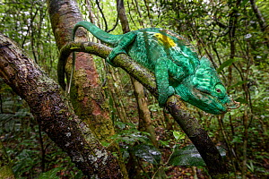 RF - Adult male Parson's Chameleon (Calumma parsonii) climbing in rainforest understorey. Andasibe-Mantadia National Park, eastern Madagascar. (This image may be licensed either as rights managed or r...  -  Nick Garbutt