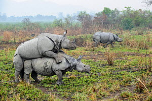 Male and female Great One-horned Rhinoceros (Rhinoceros unicornis) mating with rival male looking on. Kaziranga National Park, Assam, India.  -  Nick Garbutt