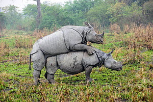 Male and female Great One-horned Rhinoceros (Rhinoceros unicornis) mating . Kaziranga National Park, Assam, India.  -  Nick Garbutt