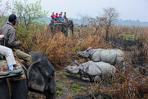 Tourists riding domestic Indian elephant (Elephas maximus) watching male and female Great One-horned Rhinoceros (Rhinoceros unicornis) - courting pair. Kaziranga National Park, Assam, India.  -  Nick Garbutt
