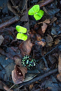 Green-and-Black Poison Dart Frog (Dendrobates auratus) on rainforest floor. Lowland rainforest, Bosque de Cabo, Pacific slope, Costa Rica, Central America.  -  Nick Garbutt