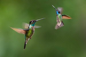 Male Magnificent hummingbirds (Eugenes fulgens) hovering  in flight. Montane forest, Bosque de Paz, Caribbean slope, Costa Rica, Central America.  -  Nick Garbutt