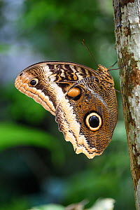 Owl-eye Butterfly (Caligo atreus) shortly after emerging from its cocoon. Lowland rainforest, La Selva, Caribbean slope, Costa Rica.  -  Nick Garbutt