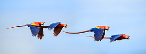 Pairs of Scarlet Macaws (Ara macao) in flight. Osa Peninsula (near Corcovado National Park), Costa Rica, Central America. - Nick Garbutt