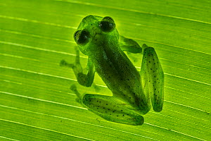 Emerald Glass Frog (Centrolenella proseblepan) on leaf. Mid-altitude rainforest, Bosque de Paz, Pacific slope, Costa Rica, Central America.  -  Nick Garbutt