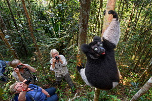 Male Indri (Indri indri) watched by tourists, feeding in forest understorey. Mitsinjo Reserve, Andasibe-Mantadia National Park, eastern Madagascar. Endangered. - Nick Garbutt