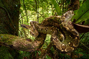 Madagascar Tree Boa (Sanzinia madagascariensis) coiled in forest understorey. Montane rainforest, Marojejy National Park, north east Madagascar.  -  Nick Garbutt