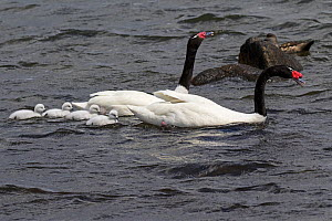 Black-necked swan (Cygnus melancoryphus) pair showing aggression towards other swans on the sea at Peurto Natales Patagonia, Chile.  December.  -  Mike Read