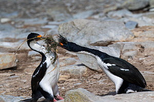 Imperial shag (Phalacrocorax atriceps albiventer) adult trying to steal nesting material from another adult, Sealion Island, Falkland Islands,  December.  -  Mike Read