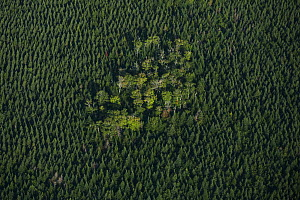A remnant of natural Acadian forest stands in the middle of a monocuture plantation of spruce trees,  Nova Scotia, Canada, September.  -  Nick Hawkins