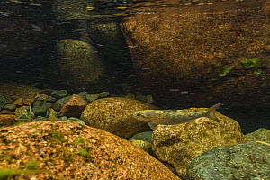 Atlantic salmon smolt (Salmo salar) swimming against the current of the Big Salmon river of Fundy National Park, New Brunswick, Canada. May - Nick Hawkins