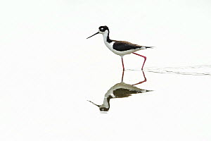Black-necked stilt (Himantopus mexicanus) reflected in water, Palo Verde National Park, Costa Rica.  -  Nick Hawkins