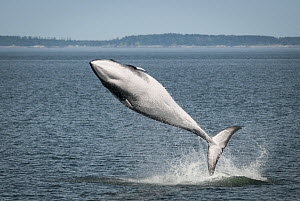 Minke whale ( Balaenoptera acutorostrata) breaching, Bay of Fundy, Canada, July.  -  Nick Hawkins