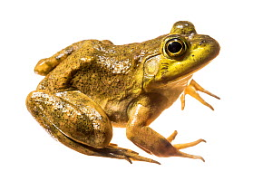 Bullfrog (Rana catesbeiana) photographed on white background, New Brunswick, Canada, May. - Nick Hawkins