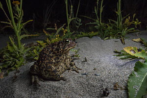 American toad (Anaxyrus americanus) foraging at night along a beach on Borgle's Island, Nova Scotia, Canada, September  -  Nick Hawkins