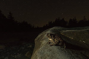 American toad (Anaxyrus americanus) foraging at night along a beach on Borgle's Island, New Brunswick, Canada, September.  -  Nick Hawkins