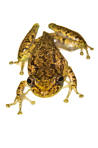 Olive-snouted treefrog (Scinax elaeochroa), photographed on white. Tortuguero National Park, Costa Rica, November.  -  Nick Hawkins
