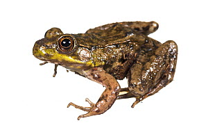 Green frog (Lithobates clamitans) photographed on white background, New Brunswick, Canada, May.  -  Nick Hawkins