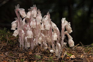 Indian pipe (Monotropa uniflora) New Brunswick, Canada, July.  -  Nick Hawkins