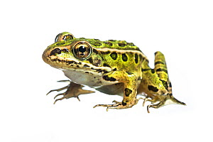 Northern leopard frog (Lithobates pipiens) photographed on white. New Brunswick, Canada. August 2013.  -  Nick Hawkins