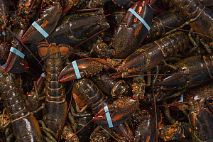 American lobster (Homarus americanus) catch with claws bound, caught in the Bay of Fundy, Canada,  -  Nick Hawkins