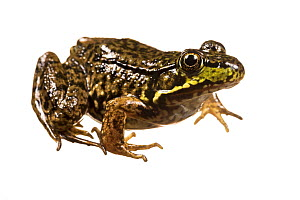 Green frog (Lithobates clamitans) photographed on white background, New Brunswick, Canada, June.  -  Nick Hawkins