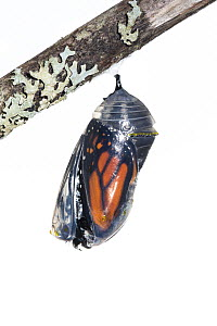 Monarch butterfly (Danaus plexippus) emerging from chrysalis, photographed on white. New Brunswick, Canada, September. Sequence 1 of 8 - Nick Hawkins