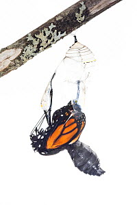 Monarch butterfly (Danaus plexippus) emerging from chrysalis, photographed on white. New Brunswick, Canada, September. Sequence 4 of 8  -  Nick Hawkins