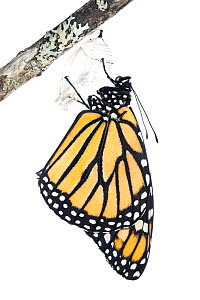 Monarch butterfly (Danaus plexippus) emerging from chrysalis, photographed on white. New Brunswick, Canada, September. Sequence 7 of 8 - Nick Hawkins