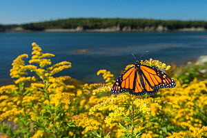 Monarch butterfly (Danaus plexippus) feeding on Goldenrod, New Brunswick, Canada, September. - Nick Hawkins