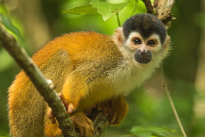 Central American squirrel monkey (Saimiri oerstedii) in Corcovado National Park, Costa Rica, May. Vulnerable.  -  Nick Hawkins