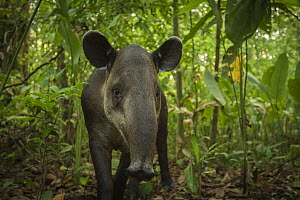 Baird's tapir (Tapirus bairdii) in Corcovado National Park, Costa Rica, May. Endangered. - Nick Hawkins