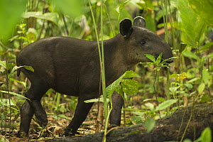 Young Baird's tapir (Tapirus bairdii) browsing in Corcovado National Park, Costa Rica, May. Endangered. - Nick Hawkins