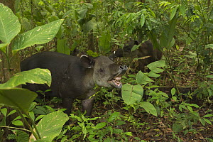 Baird's tapir (Tapirus bairdii) displaying flehman response in Corcovado National Park, Costa Rica, May. Endangered - Nick Hawkins