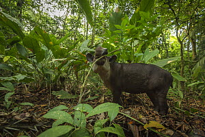 Baird's tapir (Tapirus bairdii) browsing in Corcovado National Park, Costa Rica, May. Endangered. - Nick Hawkins