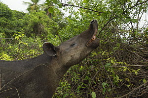 Baird's tapir (Tapirus bairdii) browsing, Corcovado National Park, Costa Rica, May. Endangered. - Nick Hawkins