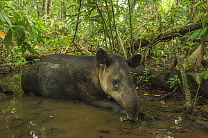 Baird's tapir (Tapirus bairdii) resting in mud wallow in Corcovado National Park, Costa Rica, May. Endangered. - Nick Hawkins