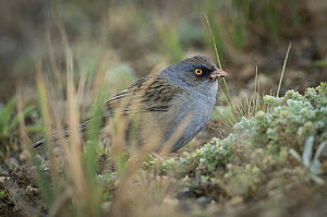 Volcano junco (Junco vulcani) endemic to the southern highlands of Costa Rica.  -  Nick Hawkins