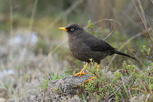 Sooty thrush (Turdus nigrescens) endemic to the southern highlands of Costa Rica, March. - Nick Hawkins